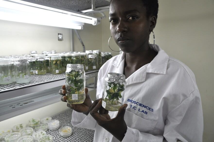 Teddy Oparok, a research assistant, holds new cultivars in the lab.