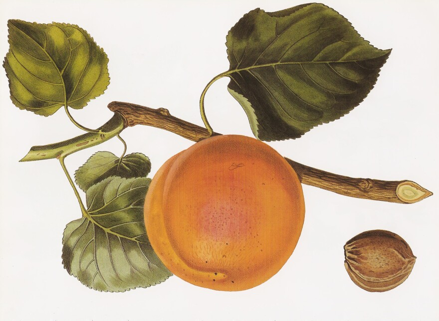 "The 'Turkey' apricot, a hand-colored engraving after a drawing by Augusta Innes Withers (1792-1869), from the first volume of John Lindley's <em>Pomological Magazine</em> (1827-1828). The Romans dubbed the apricot the ""precious one."" Poets praised its beauty. The conquering Arabs took it to the Mideast, where the luxurious fruit was exploited in sugary confections."