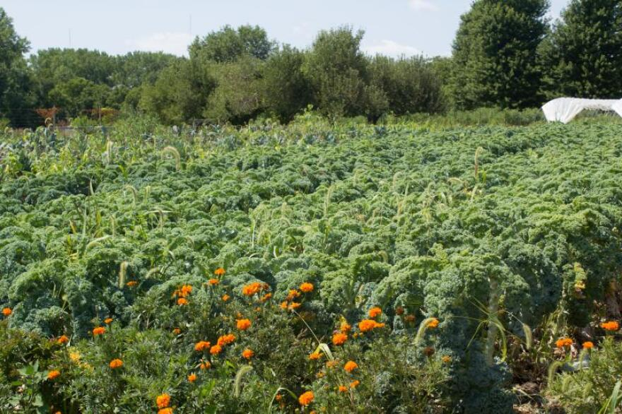 Any crop field is a potential place to add chickens  at Grade A Gardens once a vegetable is harvested for the year. But Jordan Clasen says tough stems like kale aren't as appealing to the birds as more tender plants.