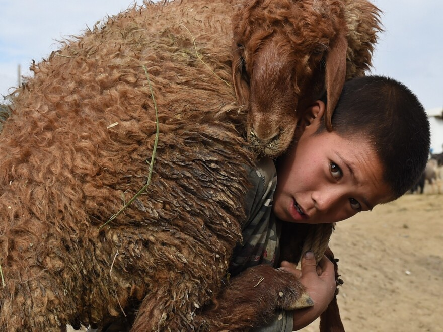 An Afghan boy carries a sheep on his shoulder at a livestock market on September 22, 2015, just ahead of the Eid al-Adha festival in Kabul.