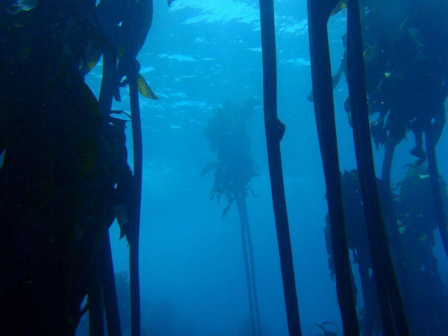 Kelp_forest.jpg
