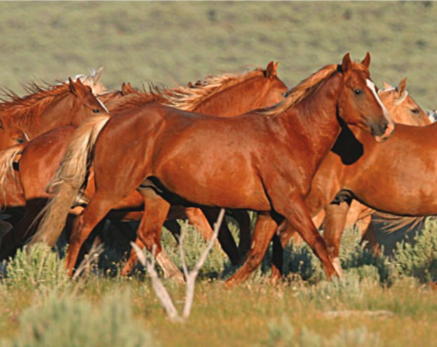 wild_horses_blm.png
