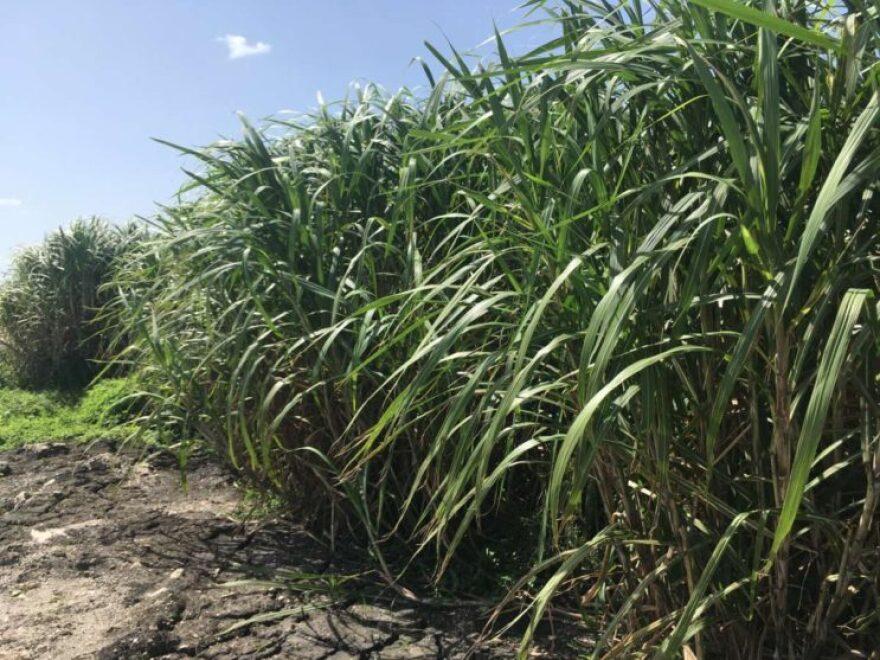 sugar-cane-743x557.jpeg