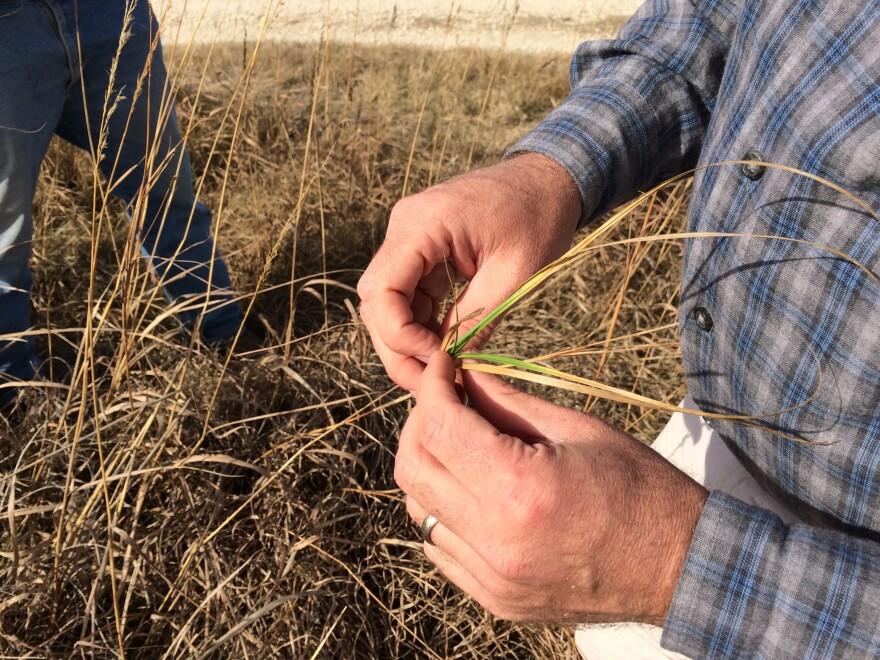 Joe Craine grabs a handful of late-winter Kansas prairie plants. Cattle need the nutrient-rich green grass to grow.