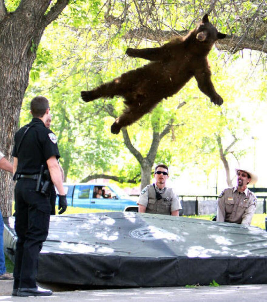 """The """"falling bear"""" photo that brought him fame."""