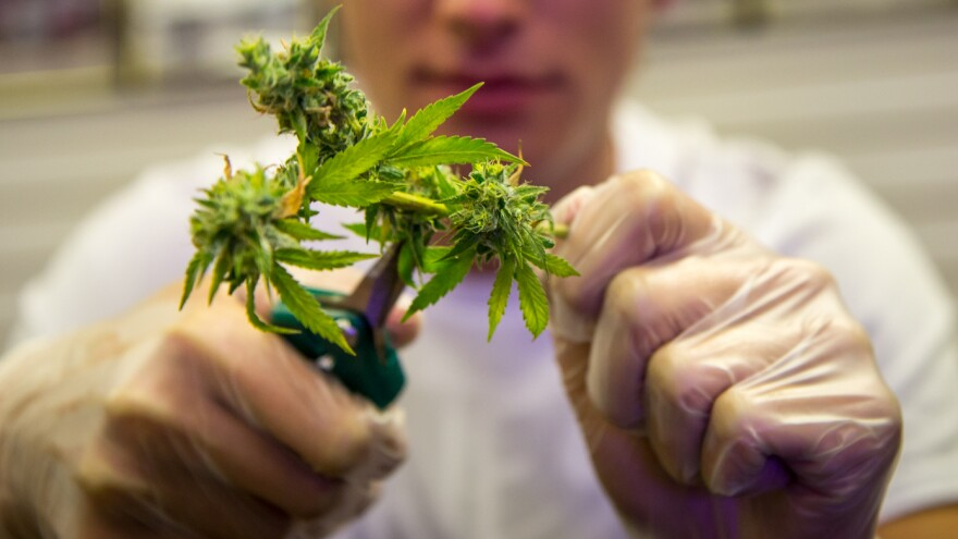 Trimmers prepare the marijuana flower, or bud, to make it more appealing to consumers. They use scissors to snip off the leaves and stems.