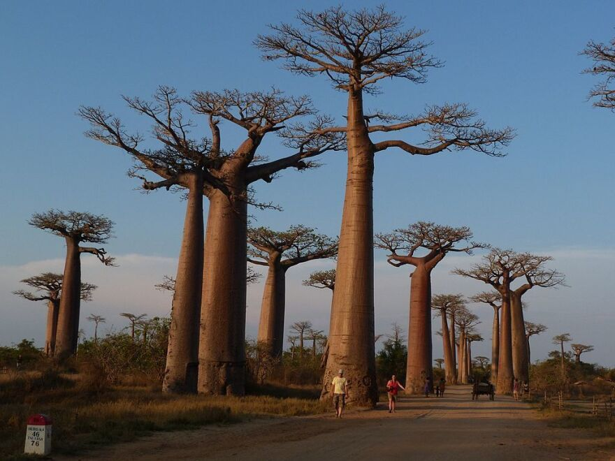 "People walk along the ""Avenue of the Baobabs,"" a natural reserve in western Madagascar, in 2011."