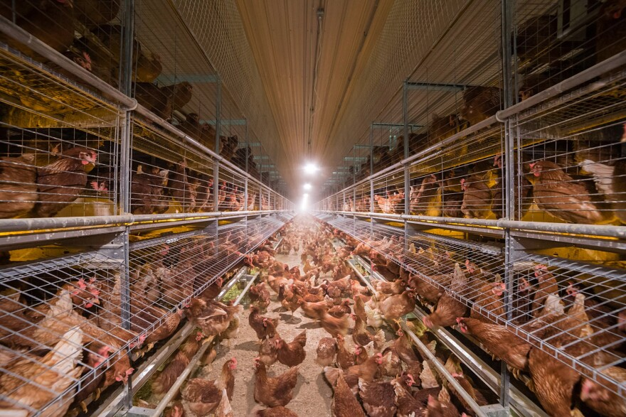 "A view inside a cage-free ""aviary"" chicken house, designed by Big Dutchman."
