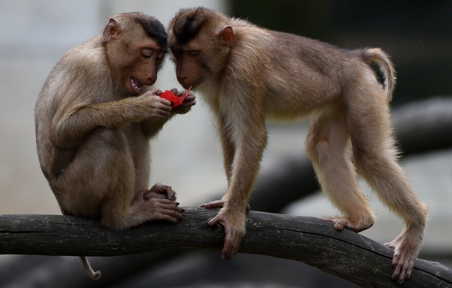 Pig-tailed macaques like these, seen in a German zoo, raided a voting place in Thailand on Sunday.