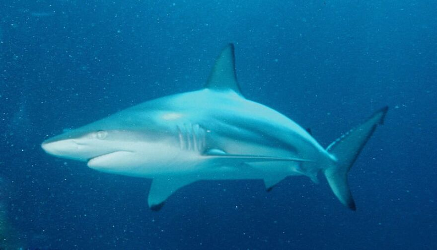 There were 21 shark attacks in Florida in 2019, out of 64 worldwide. WIKIMEDIA COMMONS