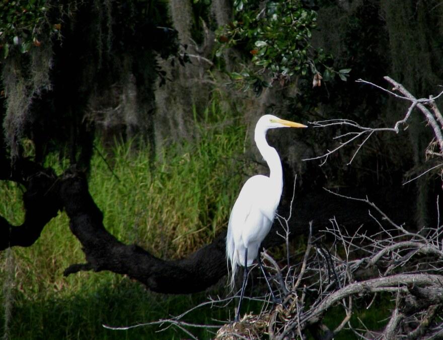 Great_Egret_-_Myakka_River_State_Park.jpg