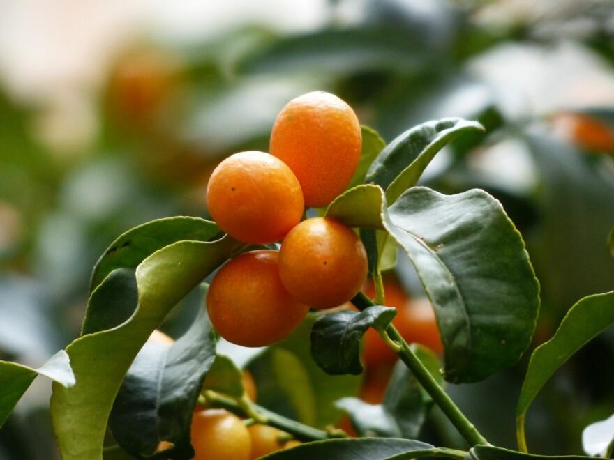 kumquats_tree_branch_leaves_fruits_fruit_fortunella_dwarf_rind-960396.jpg