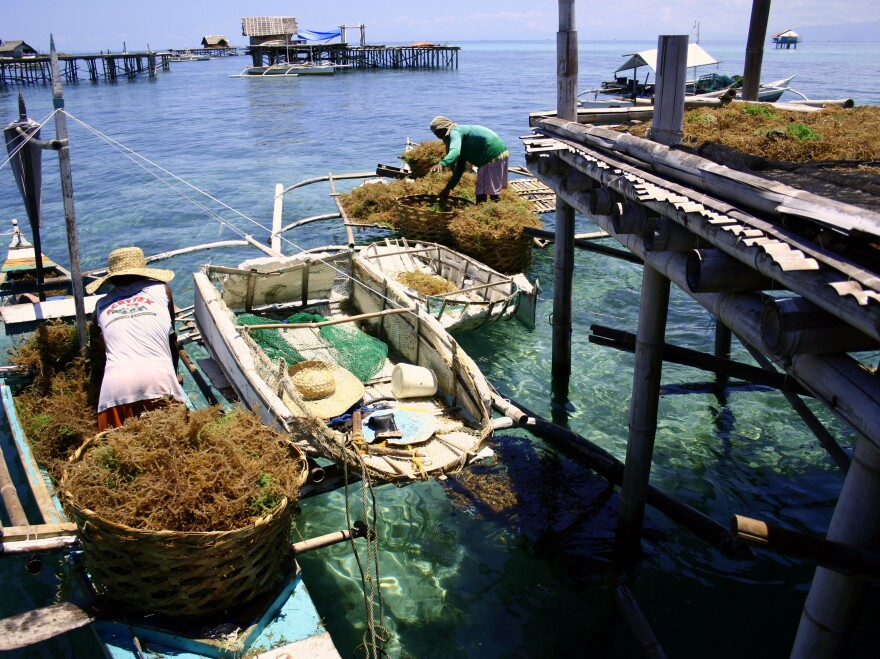 Carrageenan is an extract derived from seaweeds like these harvested off Hingutanan Island, Bien Unido, Bohol, Philippines.