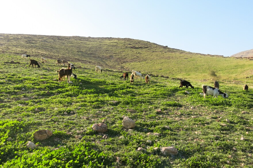 In the lush green of spring, Palestinian Bedouins let their goats and sheep fatten up wherever they can. This is the best time for fresh cheese.