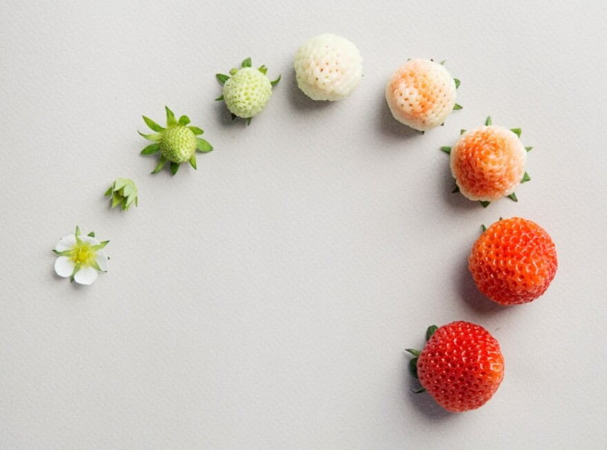 Hiroki Koga, co-founder of the Oishii Farm in New Jersey, cultivated the Omakase berry, which is distinguished by its strong aroma and sweetness. He says he was unimpressed with the quality of produce in the U.S.