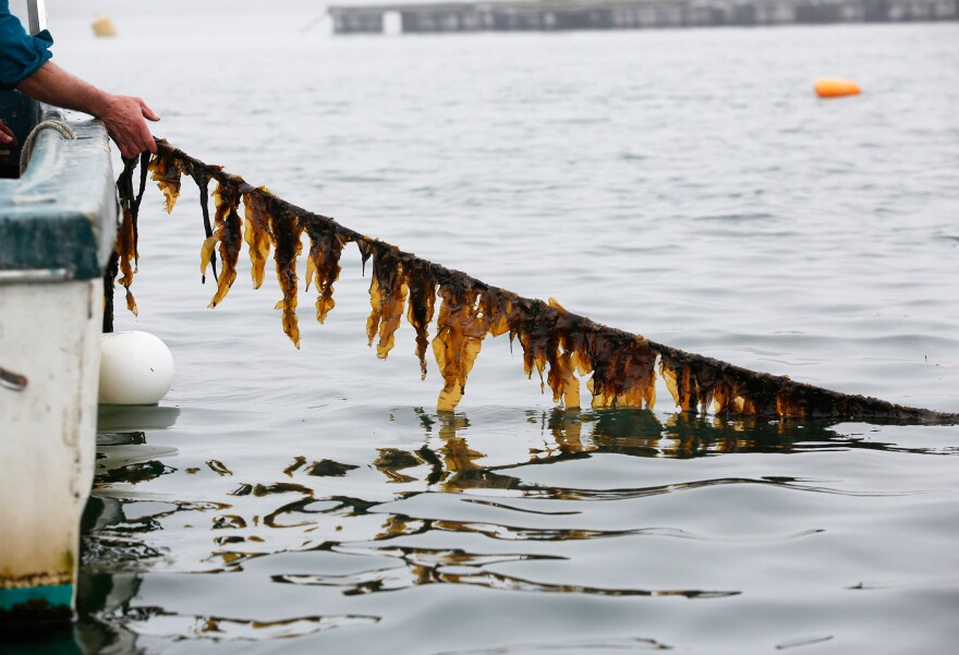 Seth Barker of Maine Fresh Sea Farms checks a seaweed line. People have foraged wild seaweed off the Eastern Seaboard for centuries. But now a much more active effort to grow seaweed in the U.S. is afoot.