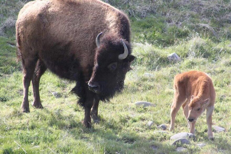baby_bison.jpg