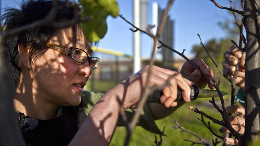 Guerrilla grafter Tara Hui grafts a fruiting pear branch onto an ornamental fruit tree in the San Francisco Bay Area. She doesn't want the location known because the grafting is illegal.