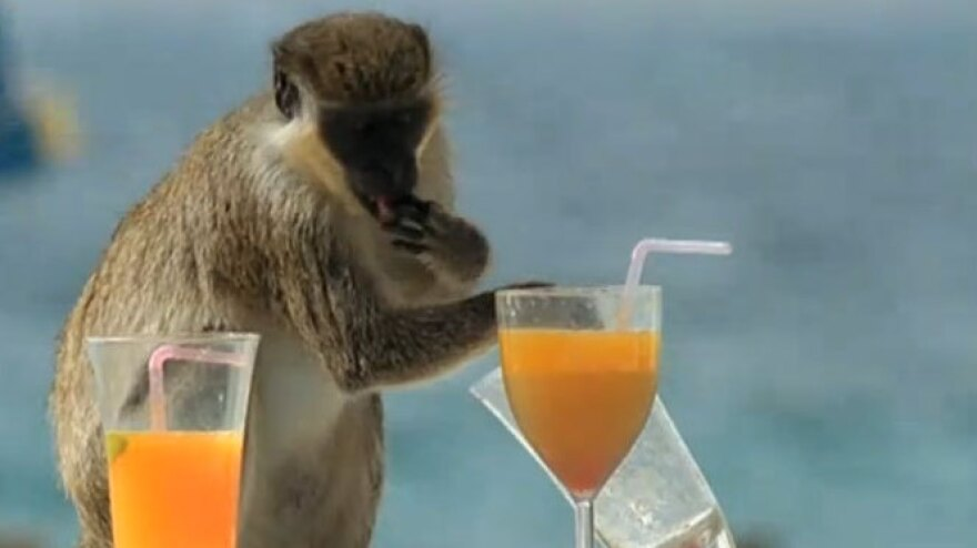Monkey with drinks