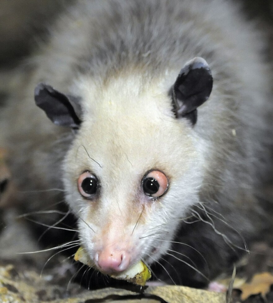 Germany's beloved cross-eyed opossum investigates her new enclosure in the giant tropical hall 'Gondwanaland' in the Leipzig Zoo, Germany.