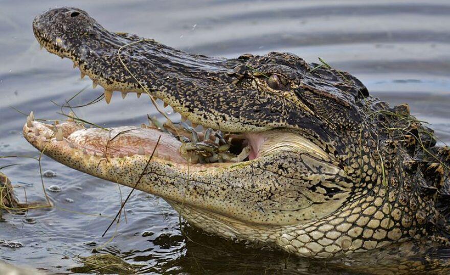 American_Alligator_eating_crab_2.JPG
