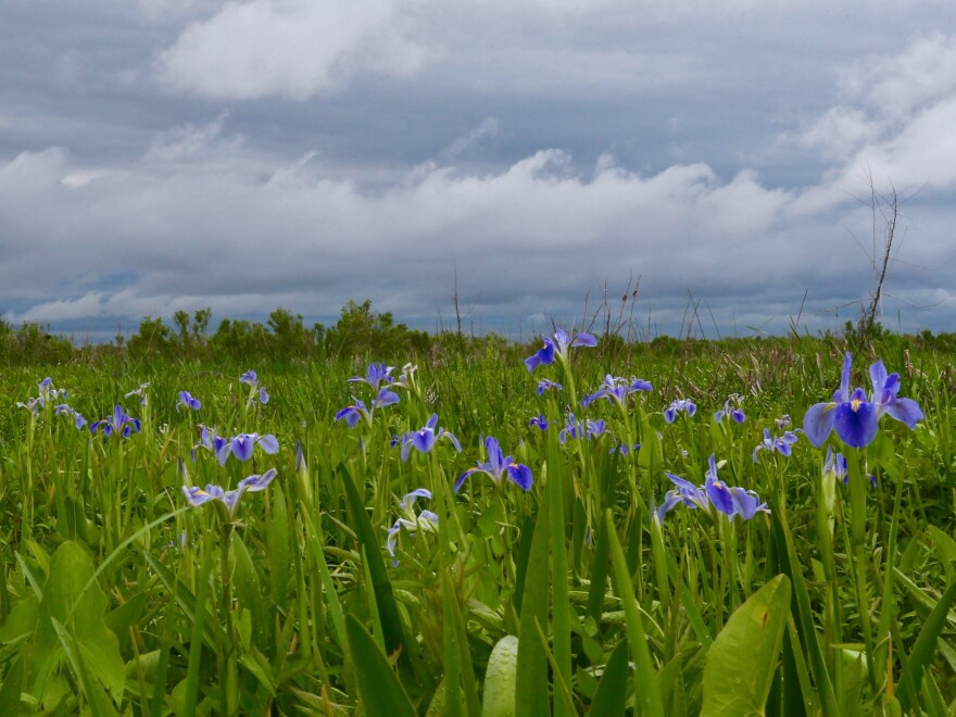 Fields of iris are seen around Alabama's Little Bateau bay. The plants play an important role in the swamp ecosystem, helping to hold the mud in place.