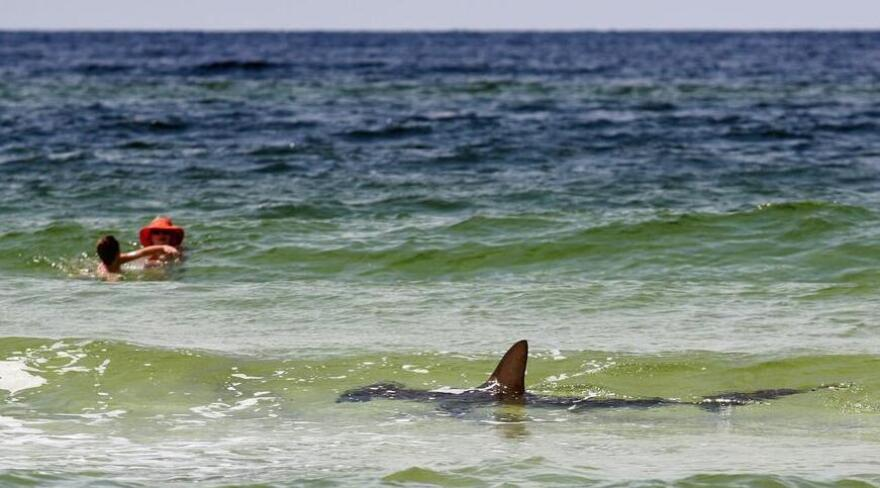 Cue the<em> Jaws</em> theme: A hammerhead shark in the shallow Gulf of Mexico waters of Seagrove Beach, Fla., on Monday.