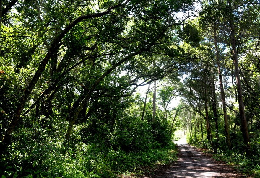 Dirt road cutting through towering trees and green shrubbery.
