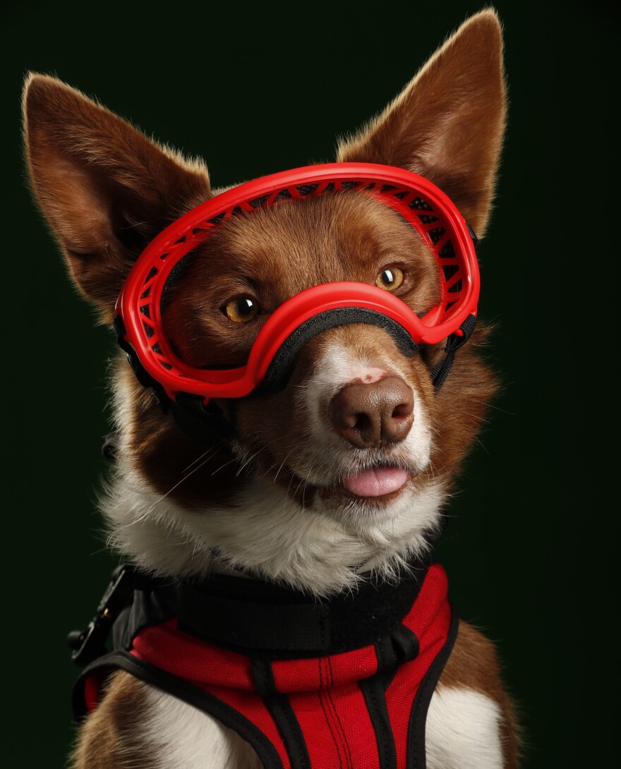 "Henry poses for a portrait for the film <em>Superpower Dogs.</em> ""When he puts on those goggles, there's something that completes him,"" director Daniel Ferguson says. ""He's ready to go and do his job. It's a signal to him that he's working."""