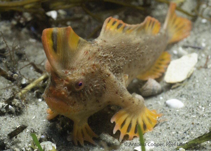 "A new population of the rare red handfish, which gets around by ""walking"" slowly along the seafloor, has been found off Tasmania, Australia."
