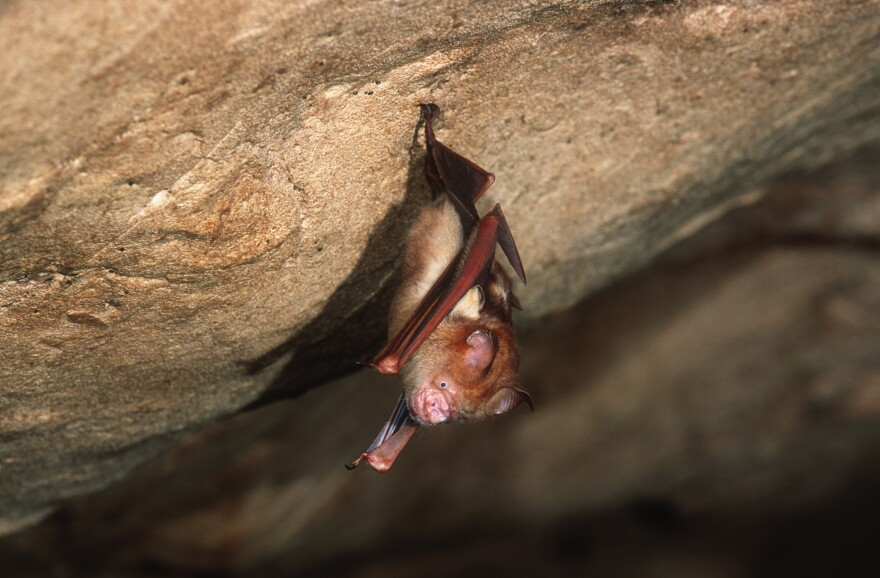 This Bornean horseshoe bat and other bat species can harbor coronaviruses. The nonprofit group EcoHealth Alliance had its NIH research money cut for a project in China on bats and coronaviruses this spring — but just got a new multimillion dollar grant from the agency.