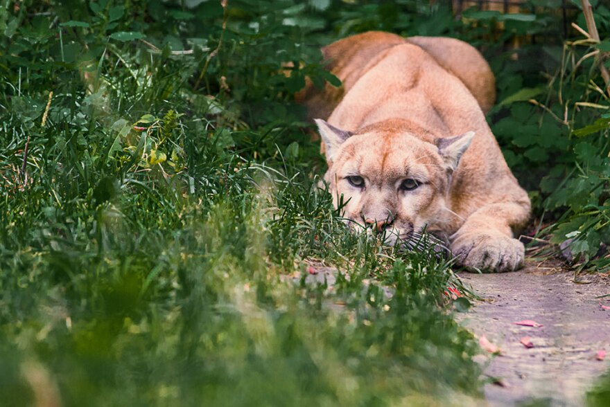 A photo of a mountain lion sitting in the grass.