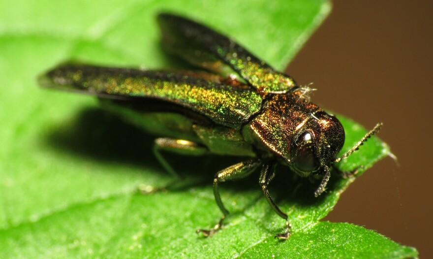 The larvae of the emerald ash borer eats its way through Texas ash trees.