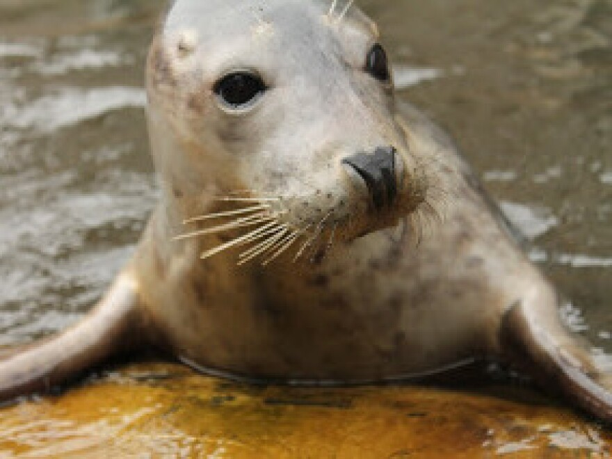 "Researchers trained Zola the seal to ""sing"" the <em>Star Wars</em> theme song."