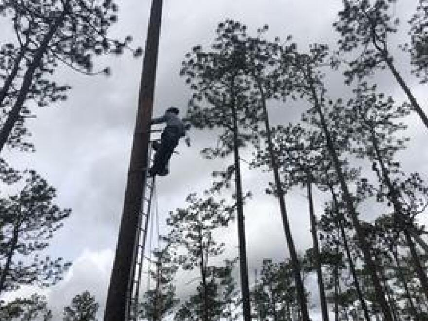 Joel Castro uses a chainsaw and special equipment to insert an artificial cavity into a pine tree at Apalachicola National Forest.