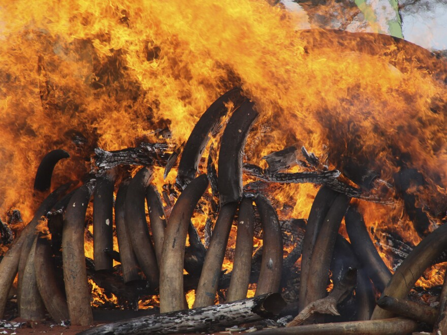 Confiscated ivory burning in Kenya.