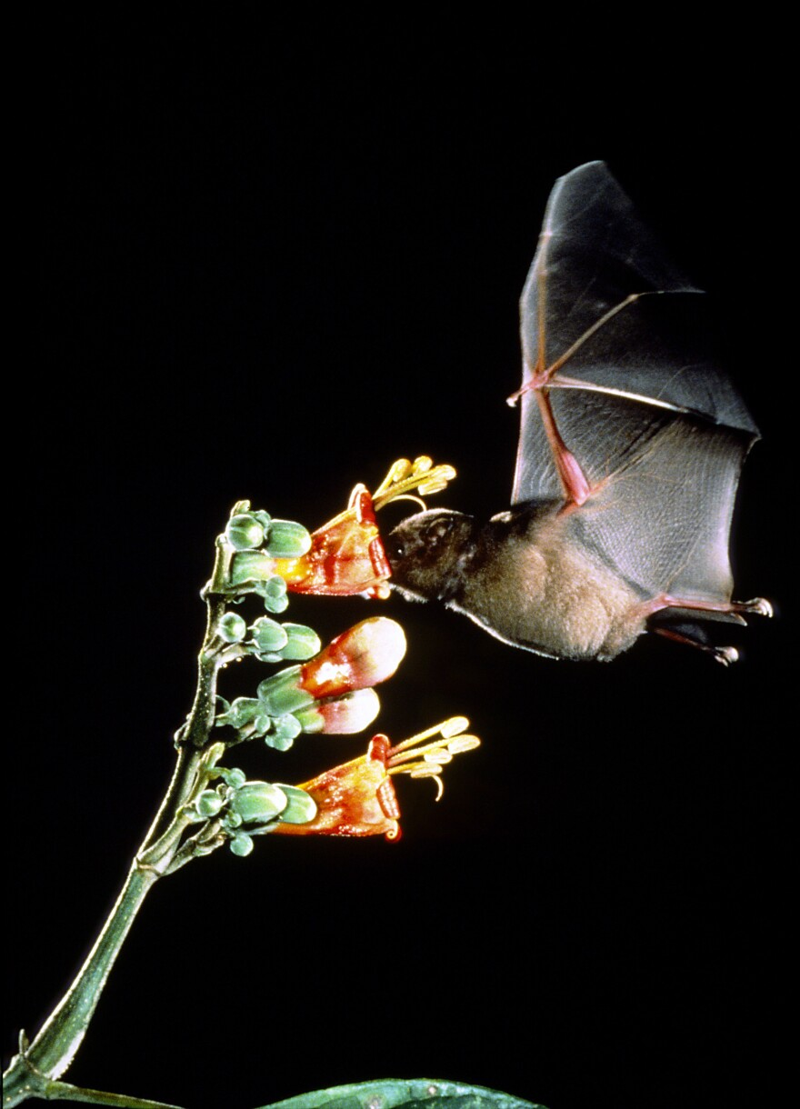 A high-speed photograph of a Pallas' long-tongued bat feeding from the nectar deep within a flower.