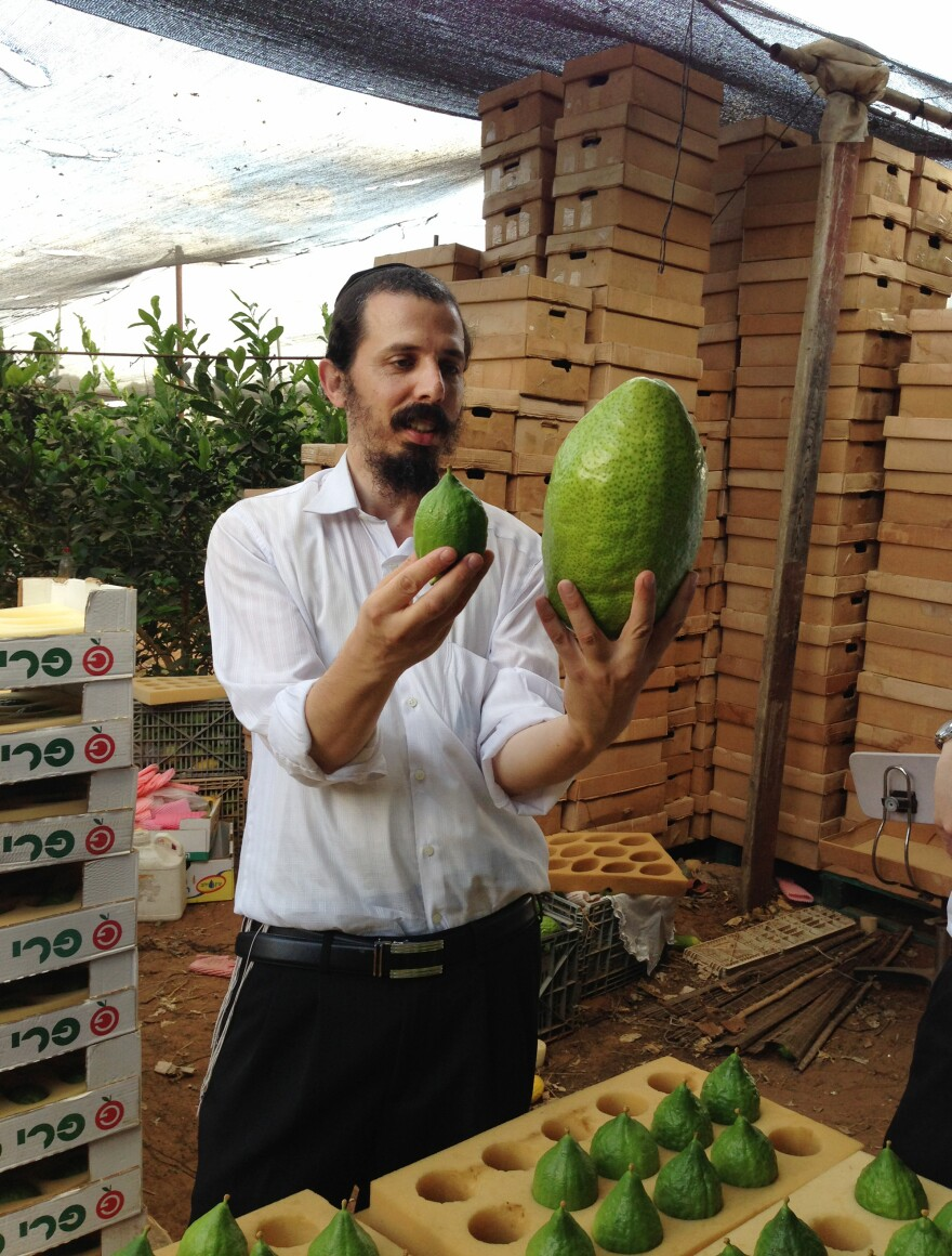 A wholesaler picking out fruit in an Israeli etrog orchard weighs a large Yemen-style etrog against a smaller variety. He prefers the small ones, and will search through stacks of boxes to find those he considers most beautiful.