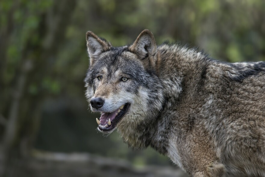 A gray wolf in Jamtland County, Sweden. A wealthy landowner in Scotland is hoping to bring wolves from Sweden to the Scottish Highlands to thin the herd of red deer.