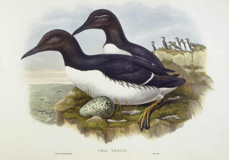 The common murre (<em>Uria aalge</em>), which was a source of eggs for San Francisco's egg rush. Engraving by John Gould, William Hart, H. C. Richter.