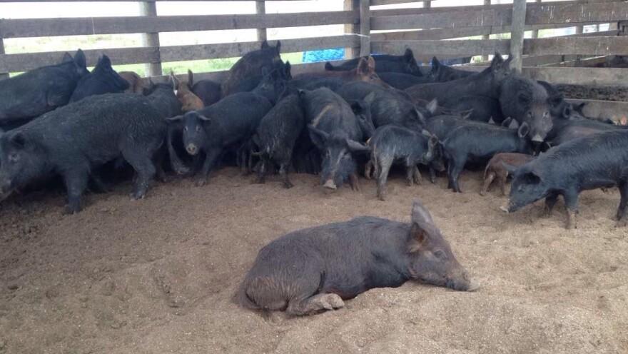 crowded_pigs_1.jpg