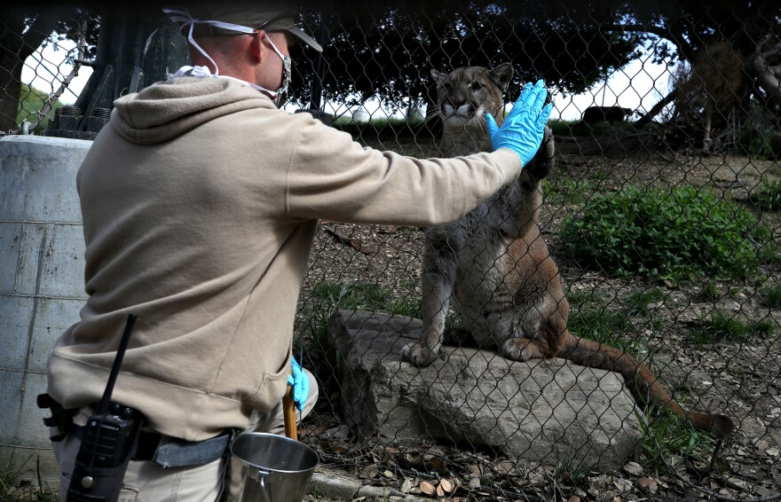 Animal keeper Sam Delzell touches the paw of a mountain lion during a feeding at the Oakland Zoo in California on April 16. The zoo is offering a subscription service that features live-streamed interactive programs with keepers and animals.