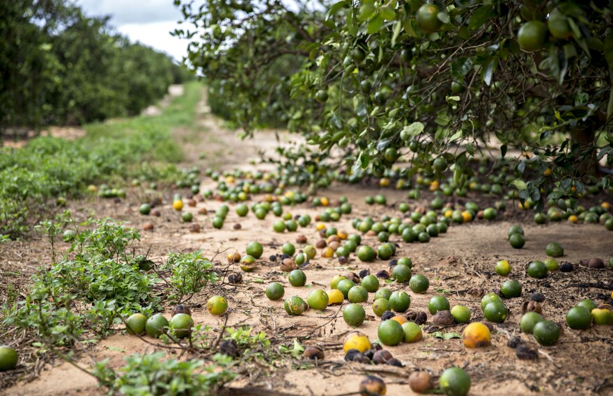 Fallen fruit sits on the ground below orange trees in Frostproof, Fla., U.S. Hurricane Irma destroyed almost half of the citrus crop in some areas.