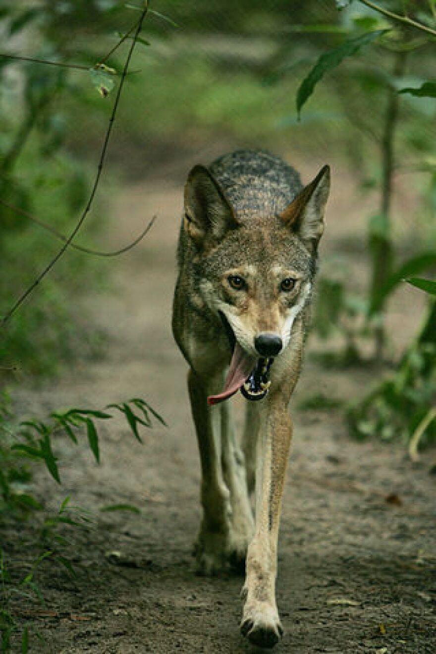 Red_Wolf_LO5S5245_original.JPG