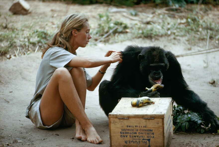 Jane Goodall grooms the coat of a chimpanzee as he eats a banana in this photo from 1974.
