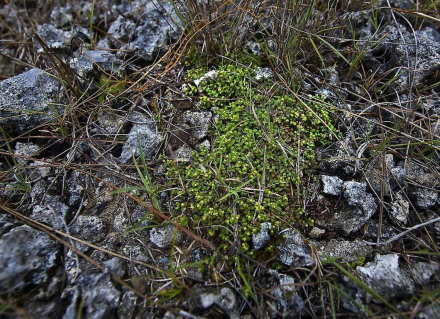 Deltoid spurge is one of at least two federally endangered plant species that grow in the Richmond Pine Rockland tract near Zoo Miami.