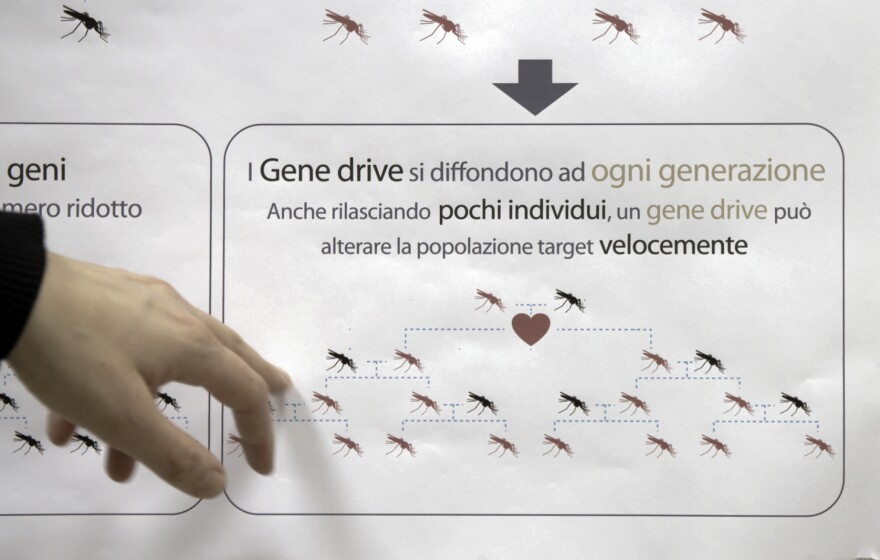 Gene-drive mosquitoes are able to spread their mutation quickly. Normally, traits are passed to only half of all offspring. With the gene drive, nearly all the progeny inherit the modification.