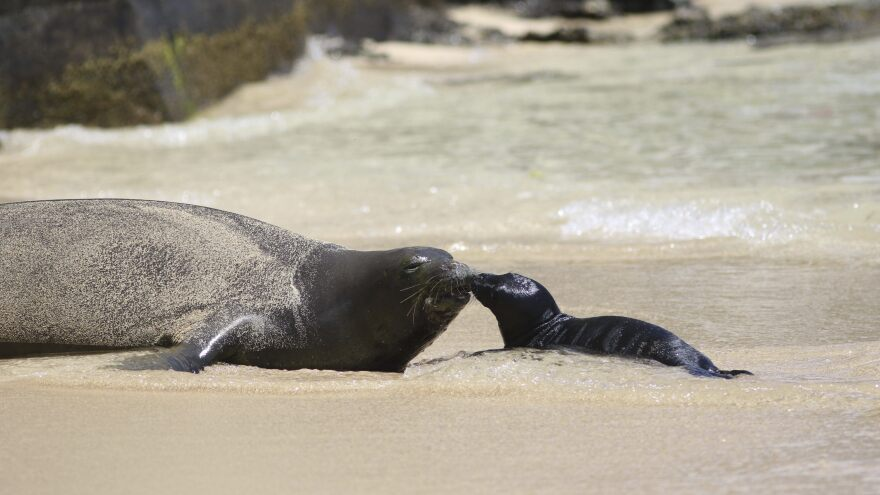 A Hawaiian monk seal and her newborn pup get to know each other on a Waikiki beach.