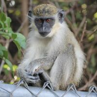 Vervet monkey sitting on a fence with trees in the background.