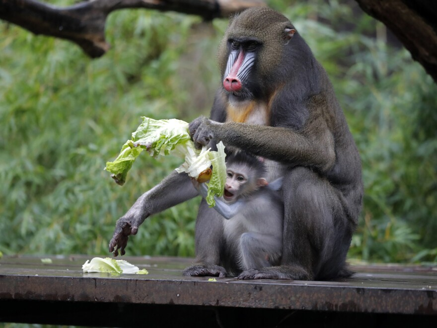 A 1-month-old baby mandrill clings onto its mother Jinx, at the Audubon Zoo in New Orleans on July 6.